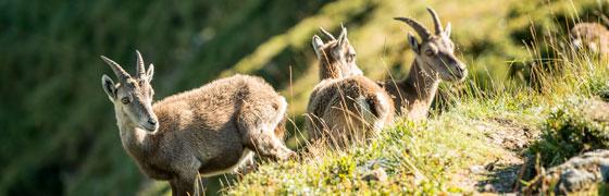Wildlife viewing on Niederhorn